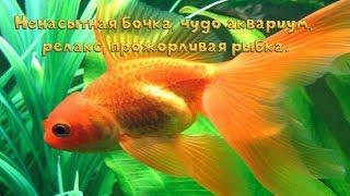 видео Всё о карпообразных аквариумных рыбках