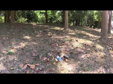 L'attaque du singe voleur d'eau à Angkor