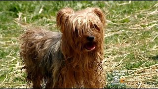 18 Yorkies Need Homes After Owner Dies