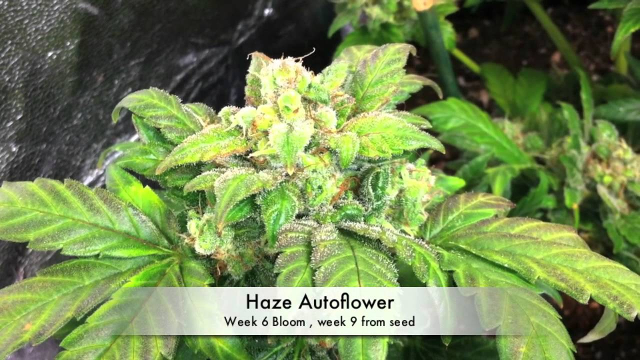 Autoflower Marijuana under LED grow lights (3 Autoflower Cannabis, under  LED grow lights)