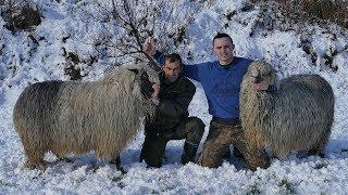 Lukine ovce i ovnovi bez konkurencije