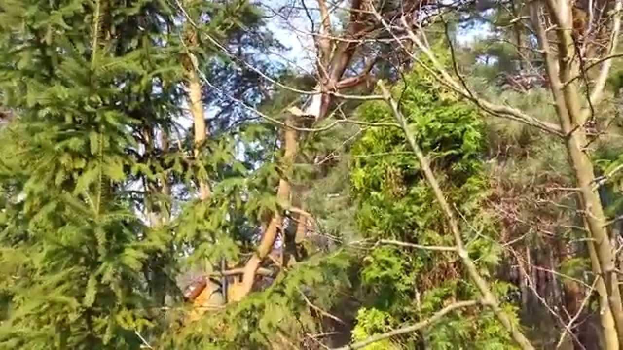 rogucki drzewo