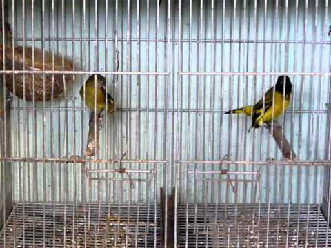 Cria en cautiverio de cabecita negra doovi for Cria de peces en cautiverio