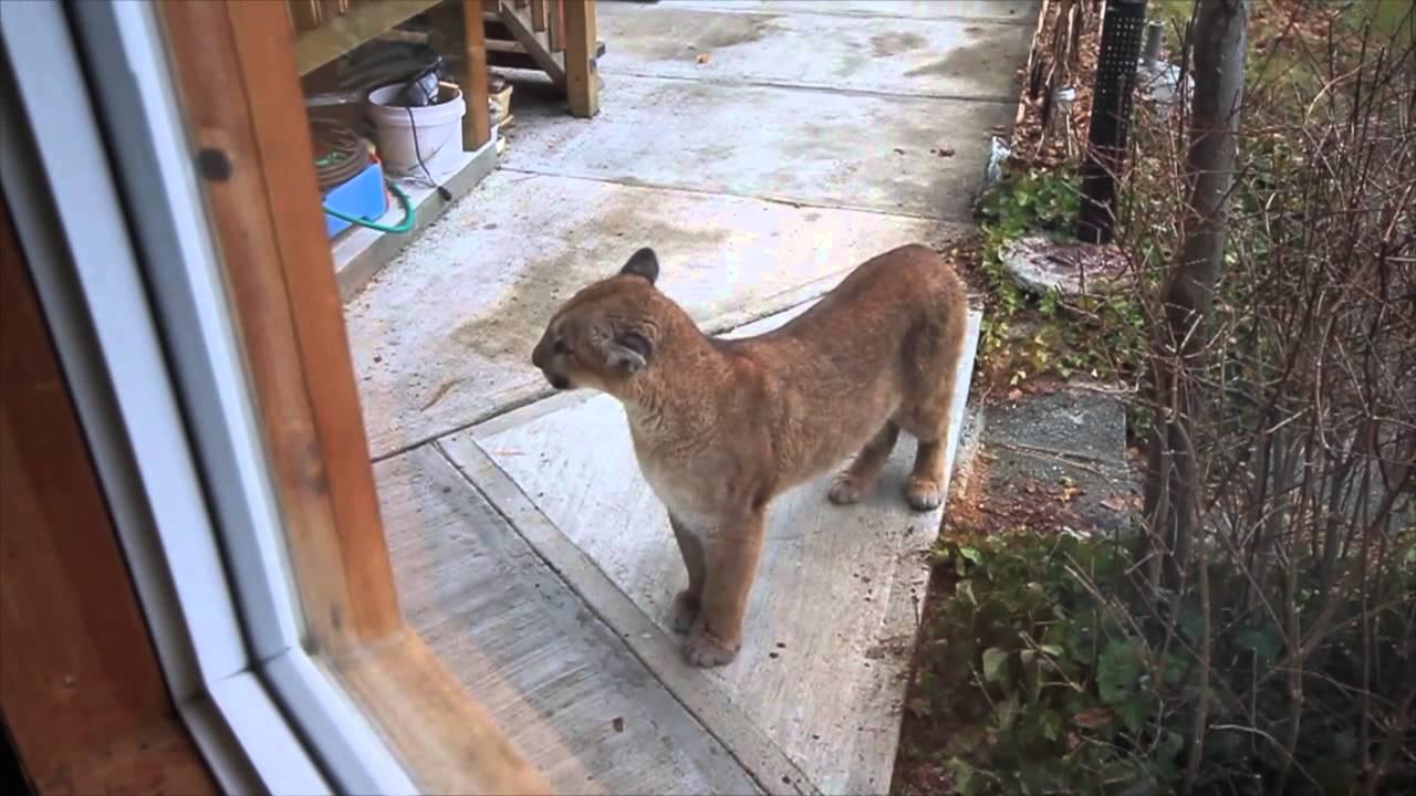 January 2014 Cougar Visits