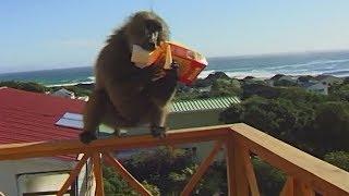 В ЮАР от нашествия бабуинов спасаются виртуальным забором (новости)