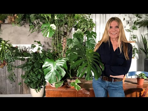MONSTERA DELICIOSA / HOW TO PROPAGATE / Best Houseplants