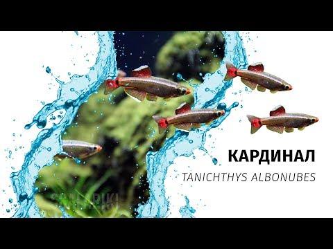 Кардинал. Содержание и разведение популярной аквариумной рыбки