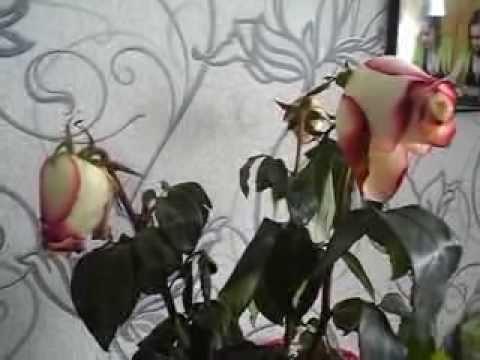 Проросли розы в вазе что делать