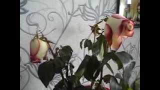 Смотреть видео увядшие розы