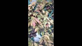 pedunculos hoyas carnosa a punto de florecer y 4 vainas