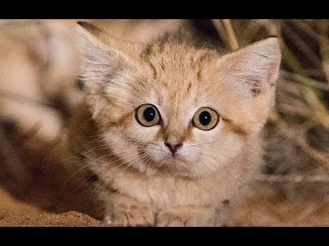 Rare And Elusive Sand Cat Kittens Captured In Wild For First Time