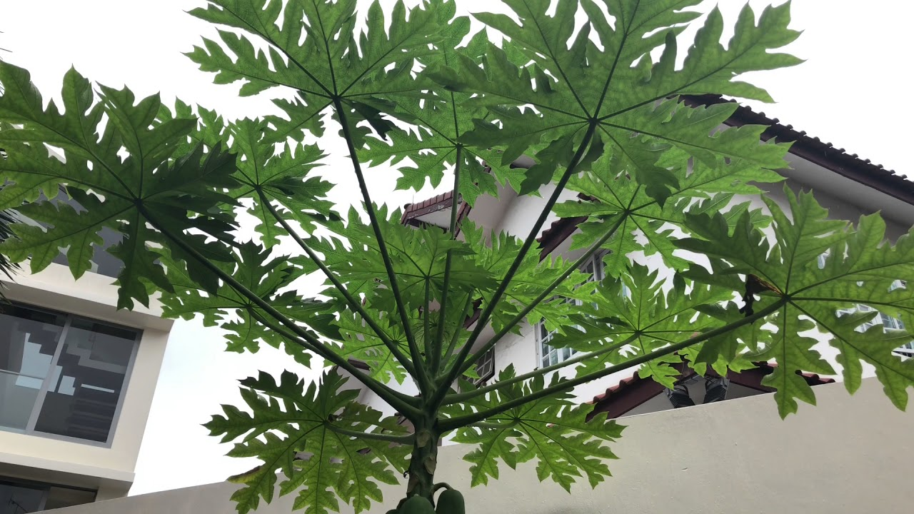 Papaya Tree And Banana Plant Growing Side By