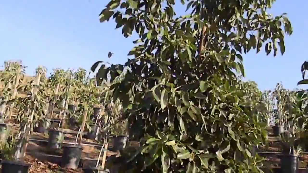 Avocado Hass And Reed Trees Boxed Trees Winter 2014 Youtube