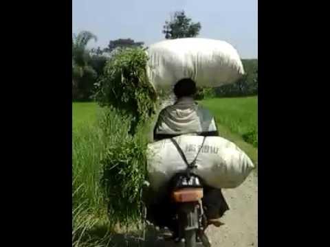 Heboh petani kuat mencari rumput