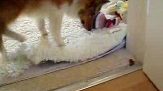 Coco our shetland sheepdog likes to hide some food so she can have ...