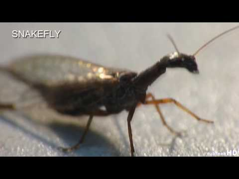 Snakefly - Super Macro