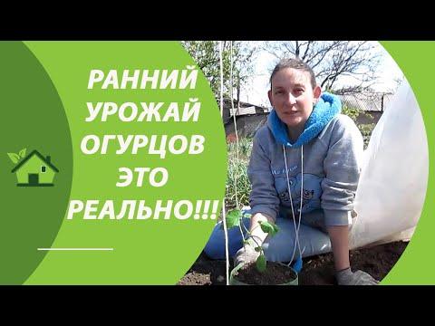 РАННИЙ УРОЖАЙ ОГУРЦОВ!!! /Рассада огурцов — когда и как сажать/выращивать в парнике