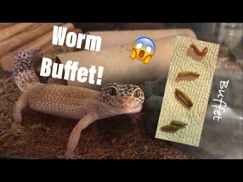 Leopard gecko WORM BUFFET!