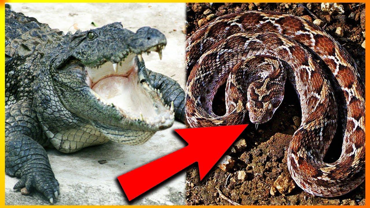 hvad er verdens giftigste dyr