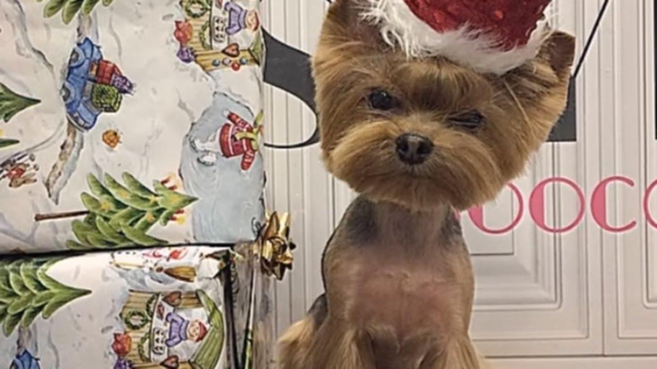 Йоркширский терьер, йорк: содержание и уход, особенности ухода/yorkshire terrier