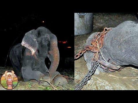 Cet éléphant a été enchaîné durant 50 ans. Regardez ce qu'il a fait quand il a été libéré!