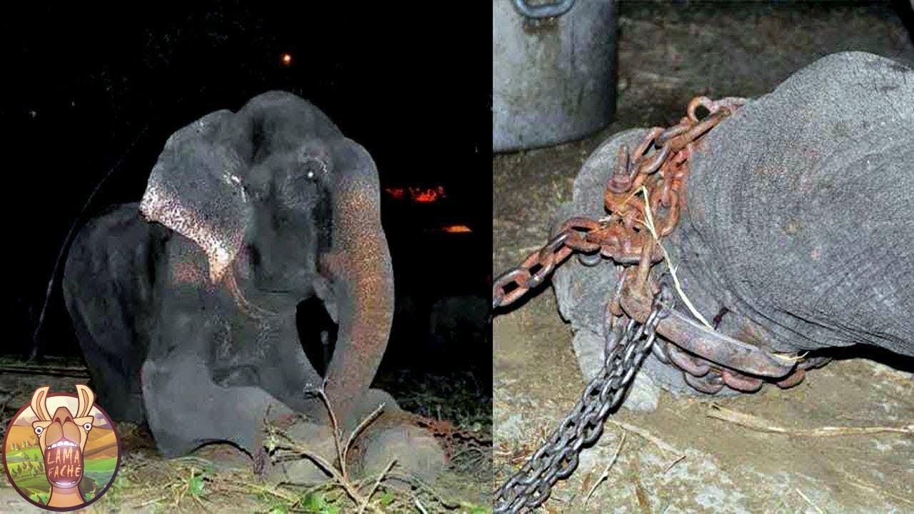 Download Cet éléphant a été enchaîné durant 50 ans. Regardez ce qu'il a fait quand il a été libéré!