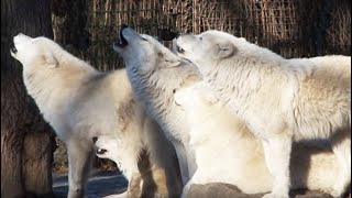 Howling Wolf - White Arctic Pack of Wolves howling together - Great Scene