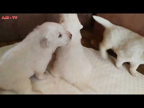 Birth of Pyrenean Mountain Dogs