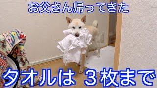 「お父さん帰ってきたぁぁ!」タオルをくわえたまま大興奮の犬