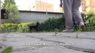 """Щенки Русский Той терьер длинношерстный Помет """"Х"""" ПРОДАНА"""