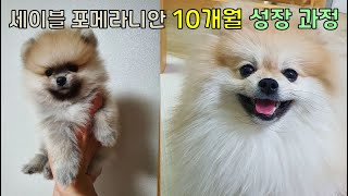 Pomeranian Growth Process for 10 Months [pet Adoption V-Log of Dogs from Sable Pomeranian Baby]