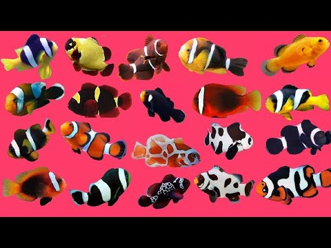 Top 30 Colour Beautiful Aquarium Clown Fish