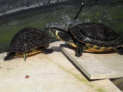Tartarughe d 39 acqua che aspettano troppo per mangiare for Acqua tartarughe