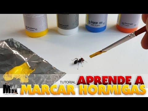 MARCAMOS A UNA HORMIGA SOLDADO  | Soldado Messor Barbarus