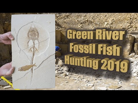 Green River Fossil Fish Hunting Compilation 2019 | Fossil Hunting In Warfield Fossil Quarry