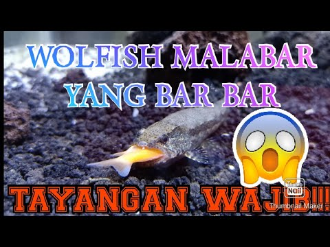 WOLFISH MALABARICUS VS OREOCHROMIS MOSAMBICUS