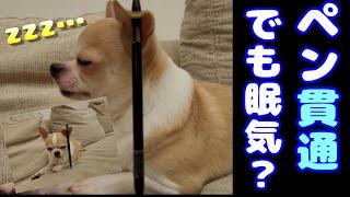 耳にペンが刺さっても、眠気が勝るチワワ犬の様子🐶💛(最後ネタばらし) chihuahua dog is sleeping even though pen is penetrating his ear. screenshot 4