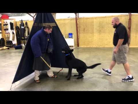 "black-german-shepherd-""gunner""-personal-protection-dog-for-sale"