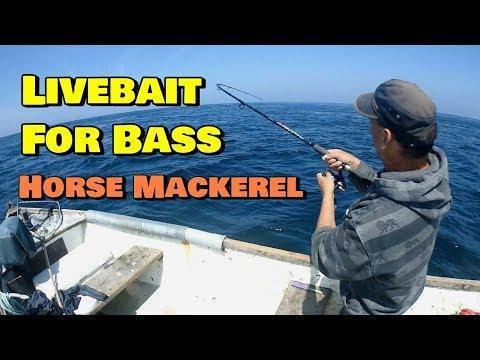Fishing Live Bait For Bass - Horse Mackerel
