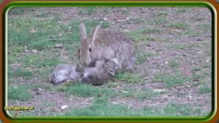 Cute Wild Baby Rabbits want a Feed / Wildlife in My Backyard