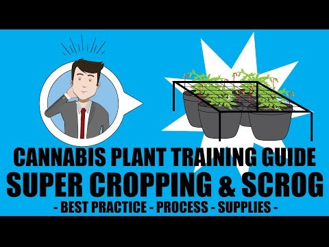 Super Cropping & SCROG Screen Of Green - Marijuana Training Techniques