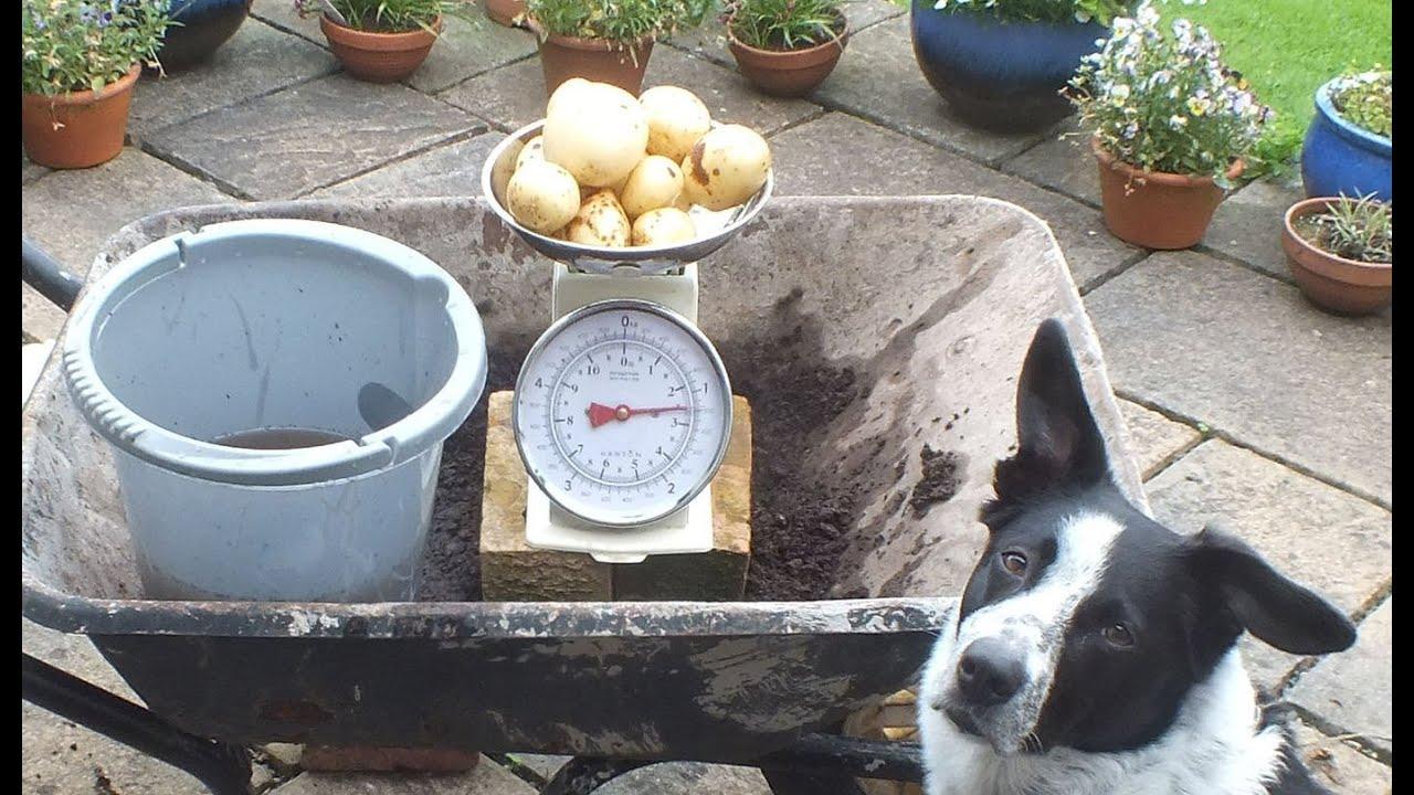 potato reveal organic potatoes grown in a pot in a backyard