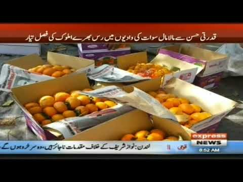 Fruit Amlok Persimmon in Swat
