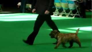 Cairn Terrier Puppy Dog Busta Crufts 2012.mov