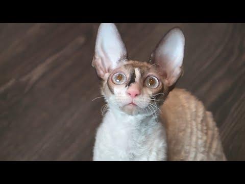 Лайки и котики: особенности породы корниш-рекс