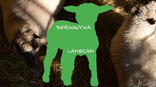 Lambcam at St Fagans - SgrînWyna yn Sain Ffagan thumbnail