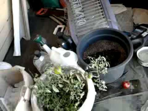 My Off Grid Life Ep#61: pine differences, lemon verbena harvest, and house cleanup