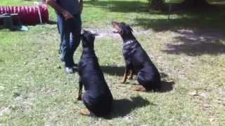 Florida Dog Academy - Basic Obedience Training With Doberman Vader & Cain