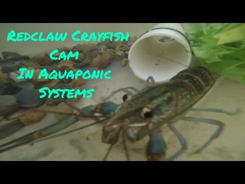 Redclaw Crayfish Cam In Aquaponic Systems