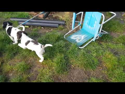 7 Week Old English Springer Spaniels Puppy Puppies Puppys ESS